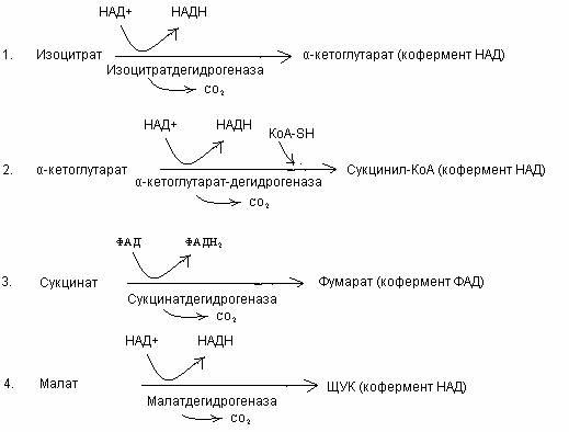 синтез АТФ за счет энергии